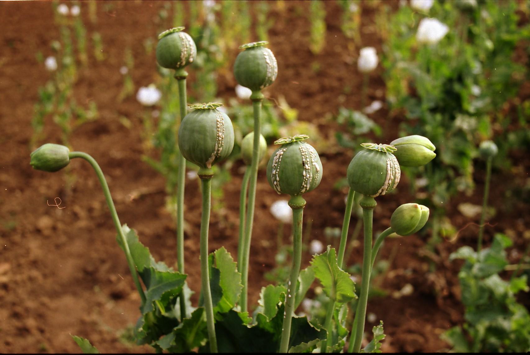 opium plants wa 016 jpgOpium Drug Plant