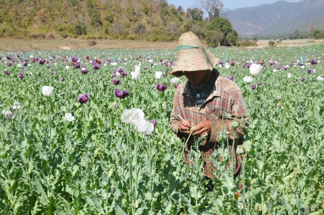 Opium harvest in early 2019 in Pekhon Township, southern Shan State (TNI)