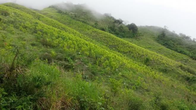 Hillside covered in coca