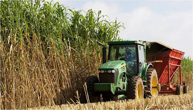 A bioenergy sorghum crop is harvested near College Station. (Texas A&M AgriLife Research photo)