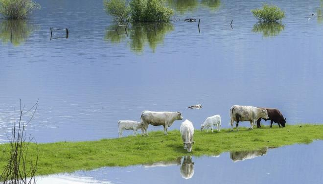 Cows in a flooded field